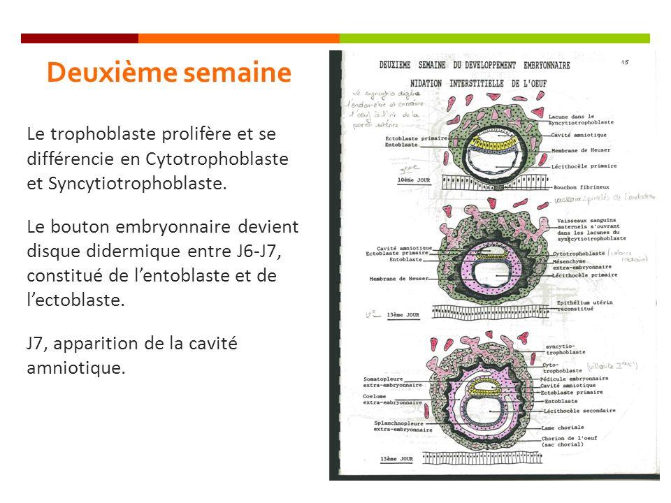 Deuxième semaine Le trophoblaste prolifère et se différencie en Cytotrophoblaste et Syncytiotrophoblaste.