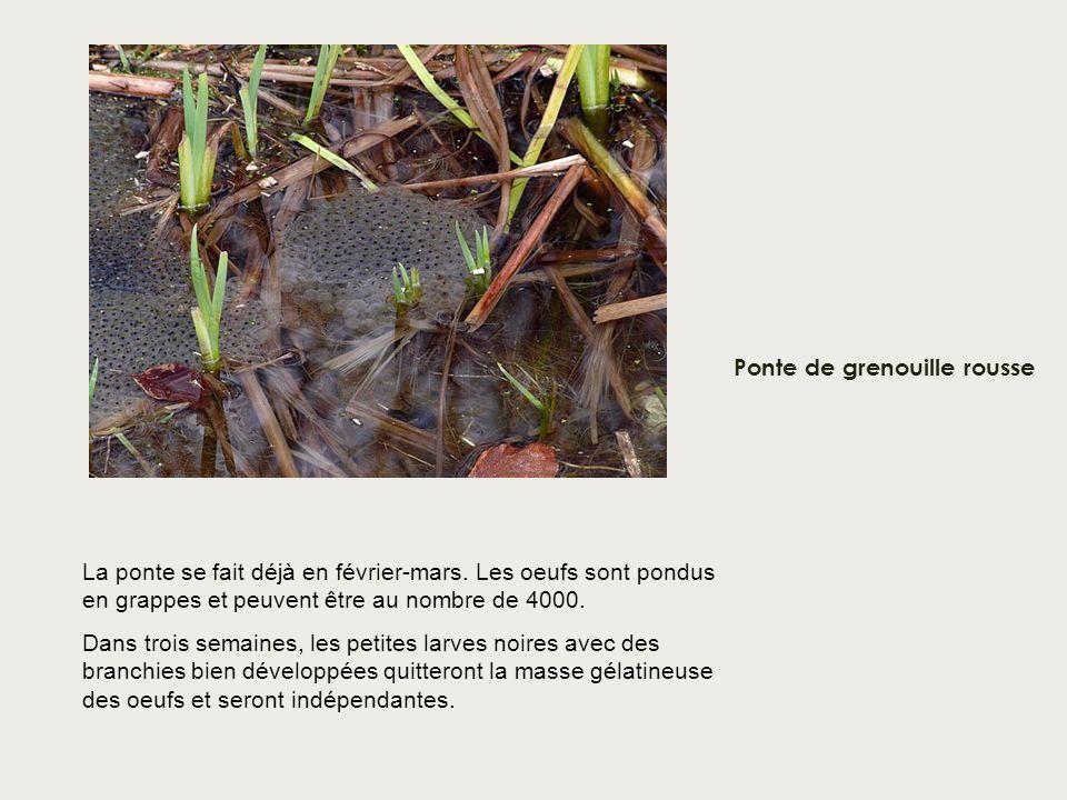 Ponte de grenouille rousse