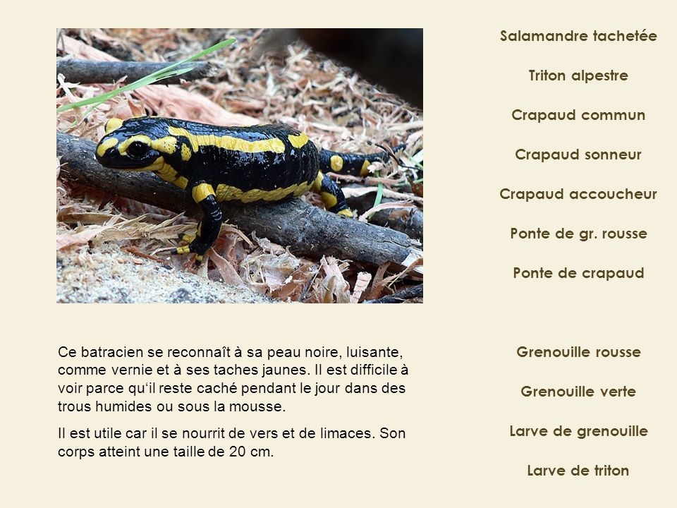Salamandre tachetée Triton alpestre. Crapaud commun. Crapaud sonneur. Crapaud accoucheur. Ponte de gr. rousse.