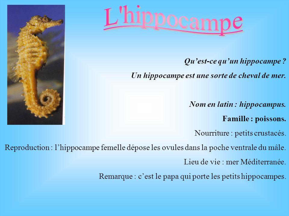 L hippocampe Qu'est-ce qu'un hippocampe