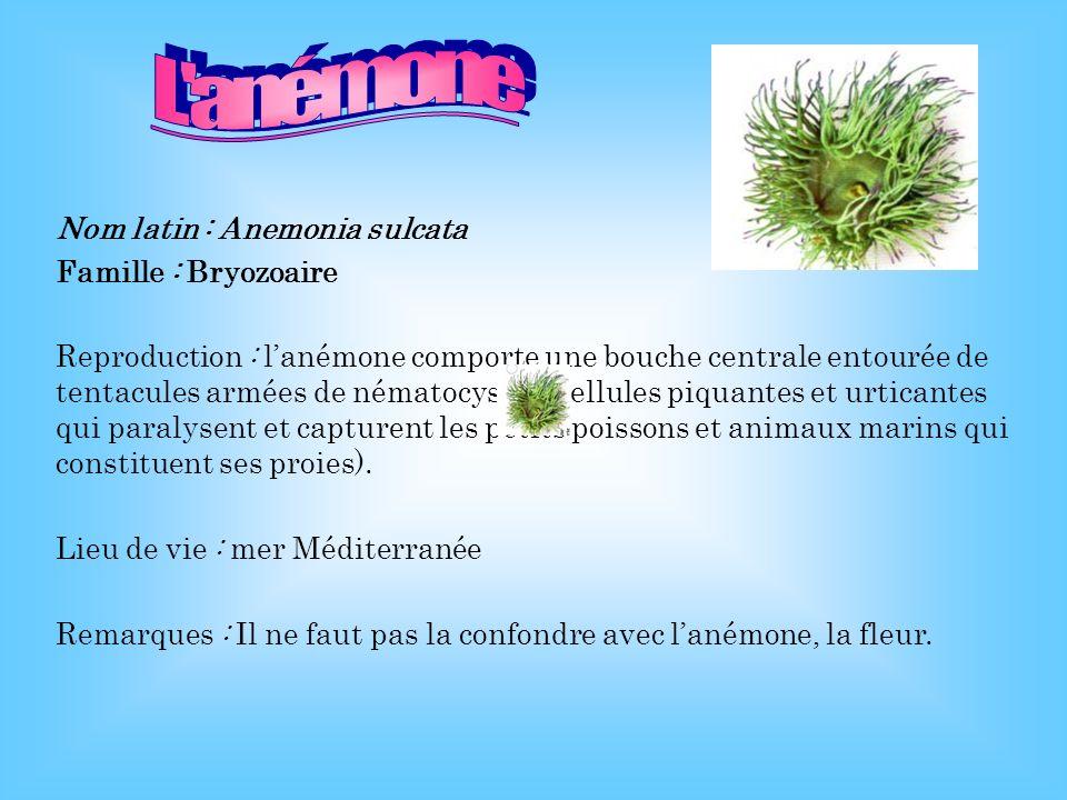 L anémone Nom latin : Anemonia sulcata Famille : Bryozoaire