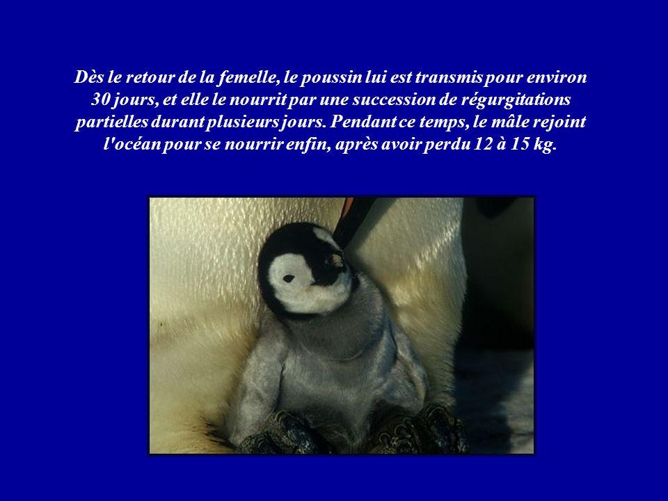 Dès le retour de la femelle, le poussin lui est transmis pour environ 30 jours, et elle le nourrit par une succession de régurgitations partielles durant plusieurs jours.