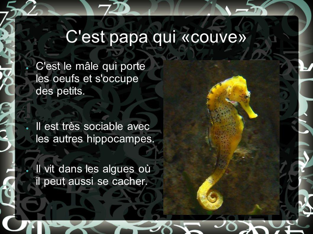 C est papa qui «couve» C est le mâle qui porte les oeufs et s occupe des petits. Il est très sociable avec les autres hippocampes.