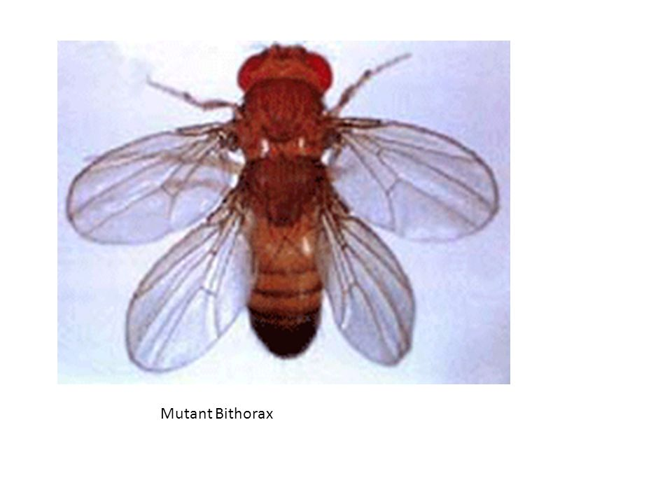 Mutant Bithorax