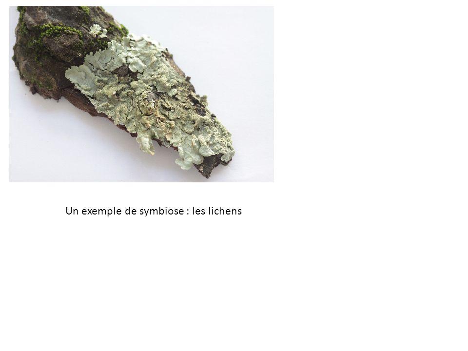 Un exemple de symbiose : les lichens