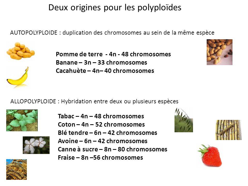Deux origines pour les polyploïdes