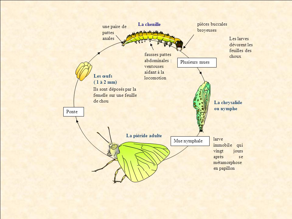 La chenille pièces buccales broyeuses. une paire de pattes anales Les larves dévorent les feuilles des choux.