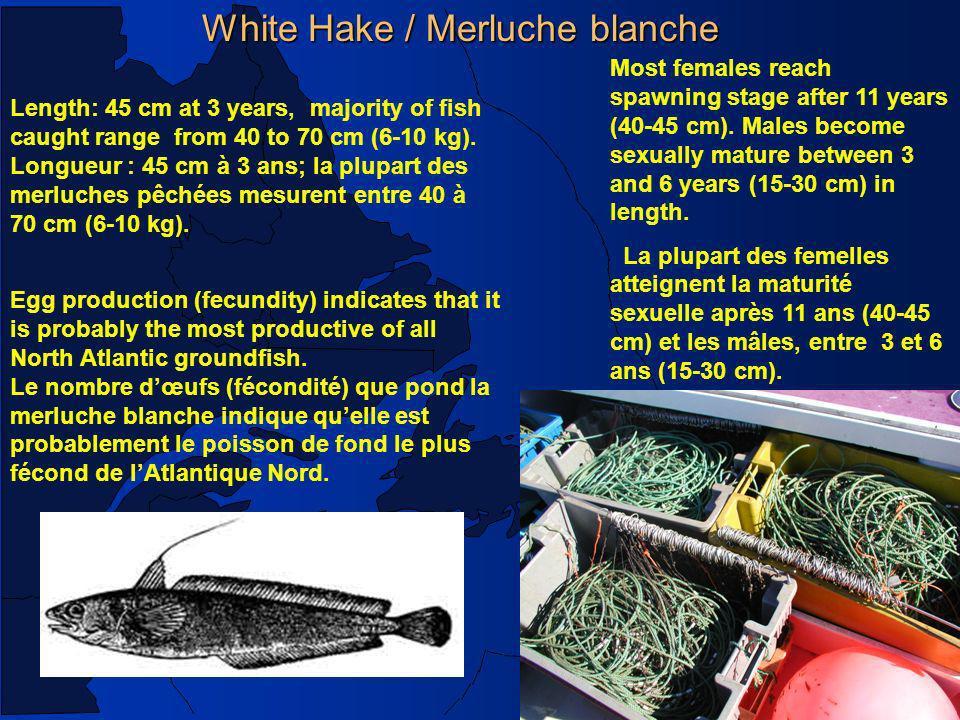 White Hake / Merluche blanche