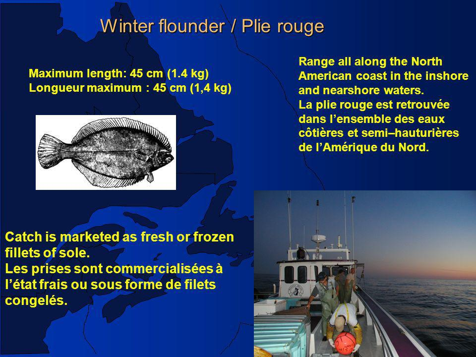 Winter flounder / Plie rouge