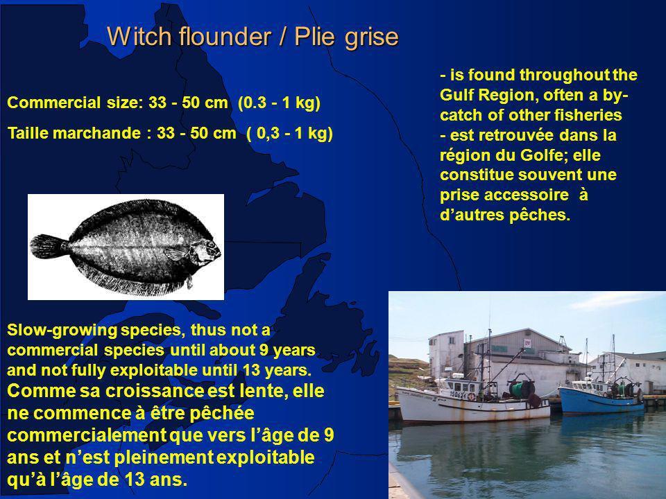 Witch flounder / Plie grise