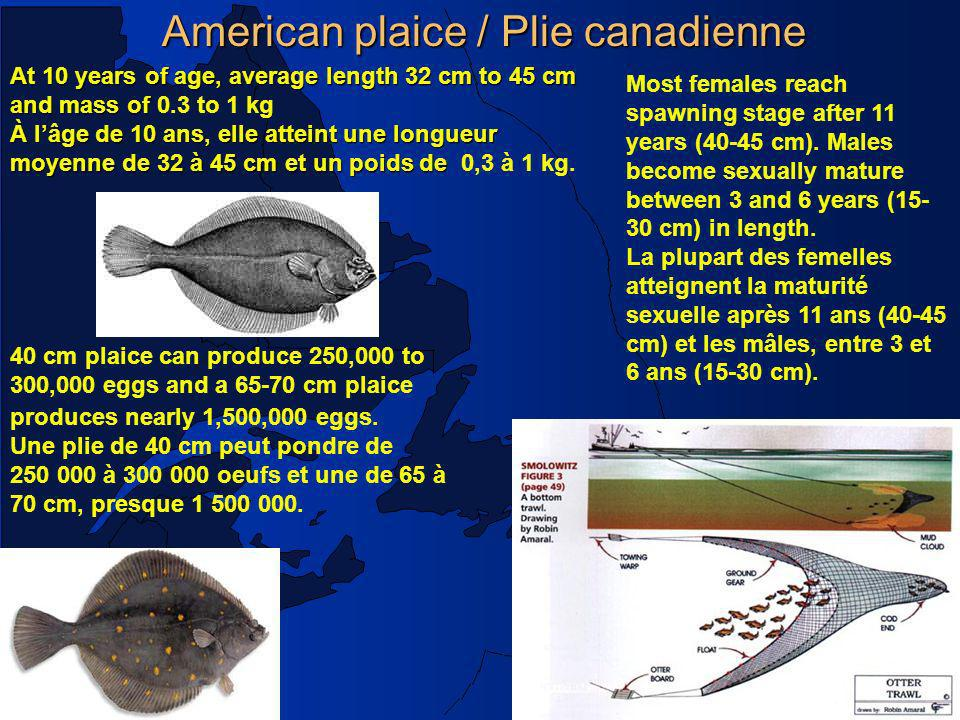 American plaice / Plie canadienne