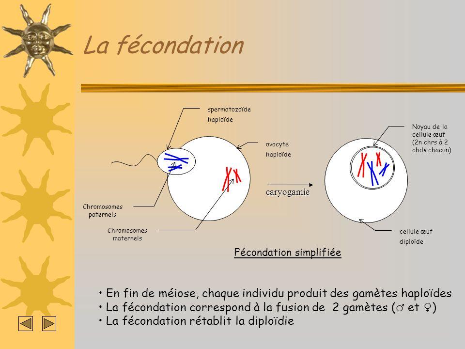 La fécondation spermatozoïde. haploïde. ovocyte. Chromosomes paternels. Chromosomes maternels. Noyau de la cellule œuf.