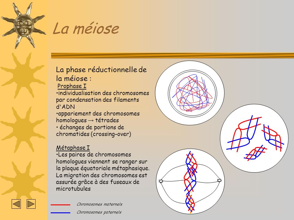 La méiose La phase réductionnelle de la méiose : Prophase I