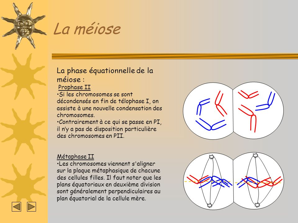 La méiose La phase équationnelle de la méiose : Prophase II