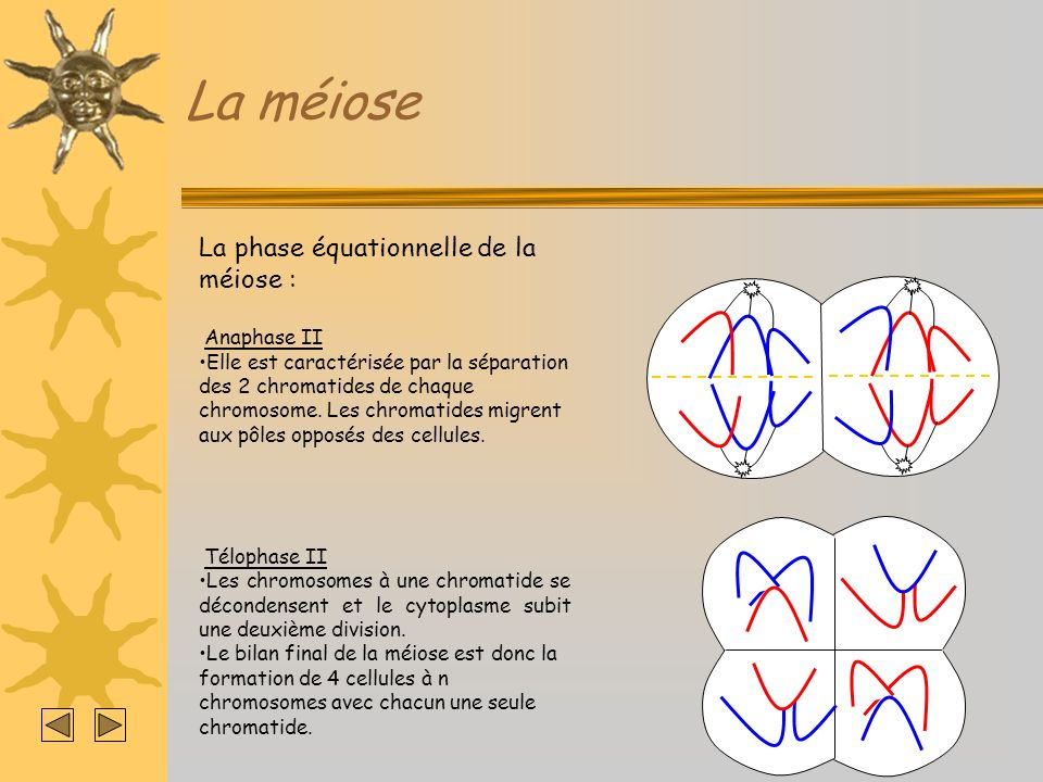 La méiose La phase équationnelle de la méiose : Anaphase II