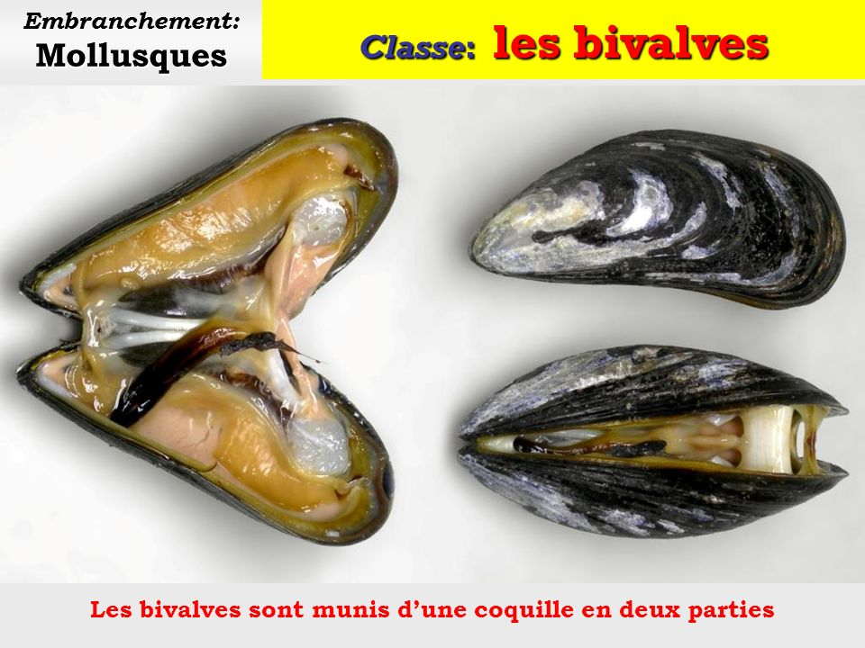 Classe: les bivalves Embranchement: Mollusques