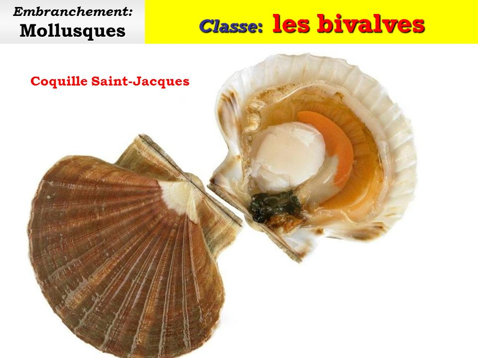 Embranchement: Mollusques Coquille Saint-Jacques