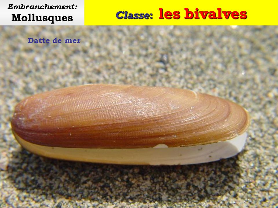 Embranchement: Mollusques
