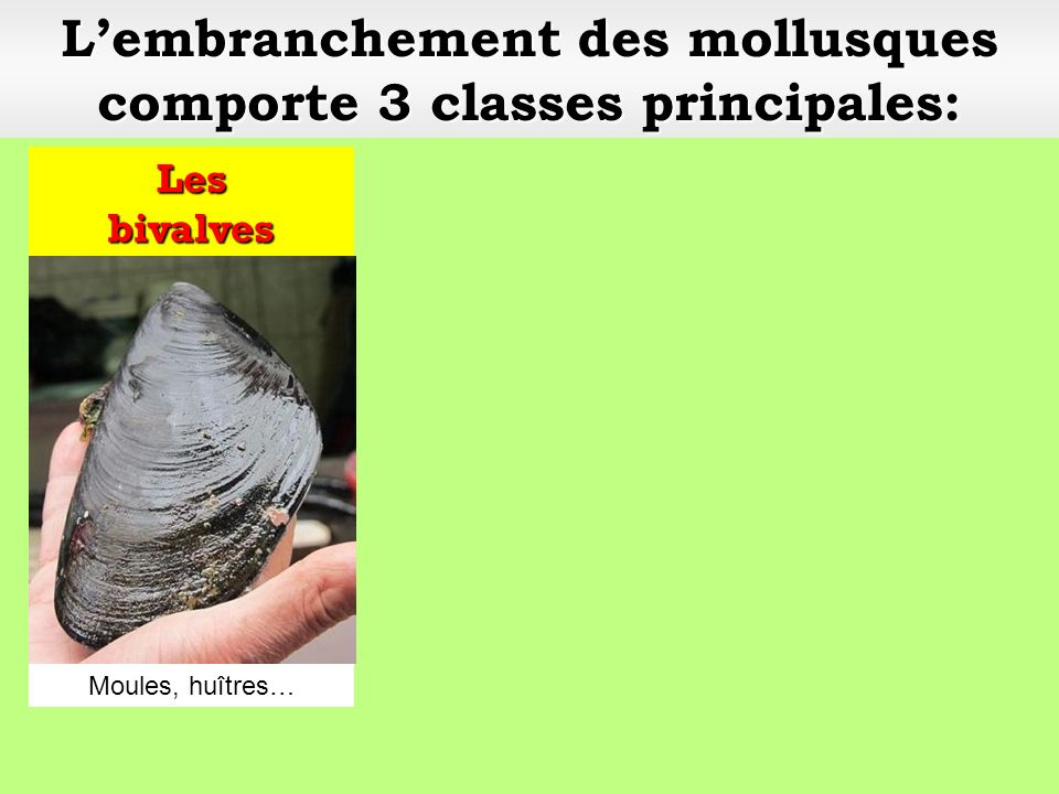 L'embranchement des mollusques comporte 3 classes principales: