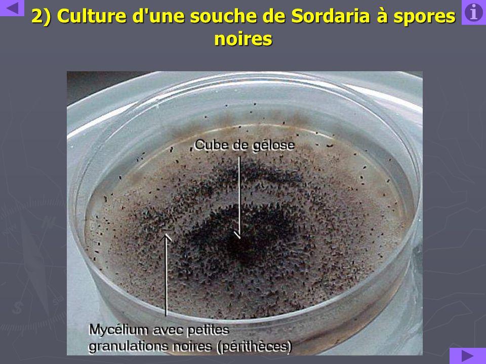 2) Culture d une souche de Sordaria à spores noires