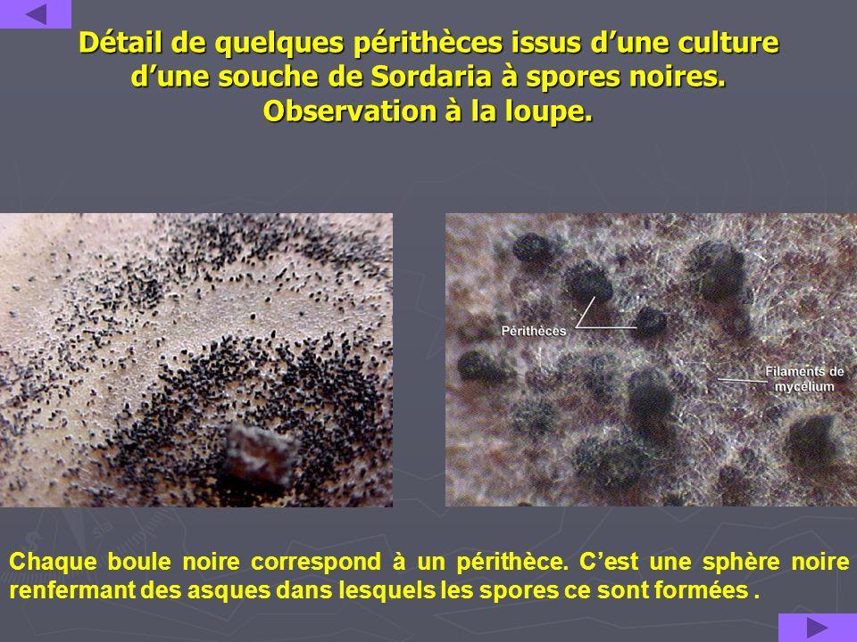 Détail de quelques périthèces issus d'une culture d'une souche de Sordaria à spores noires. Observation à la loupe.