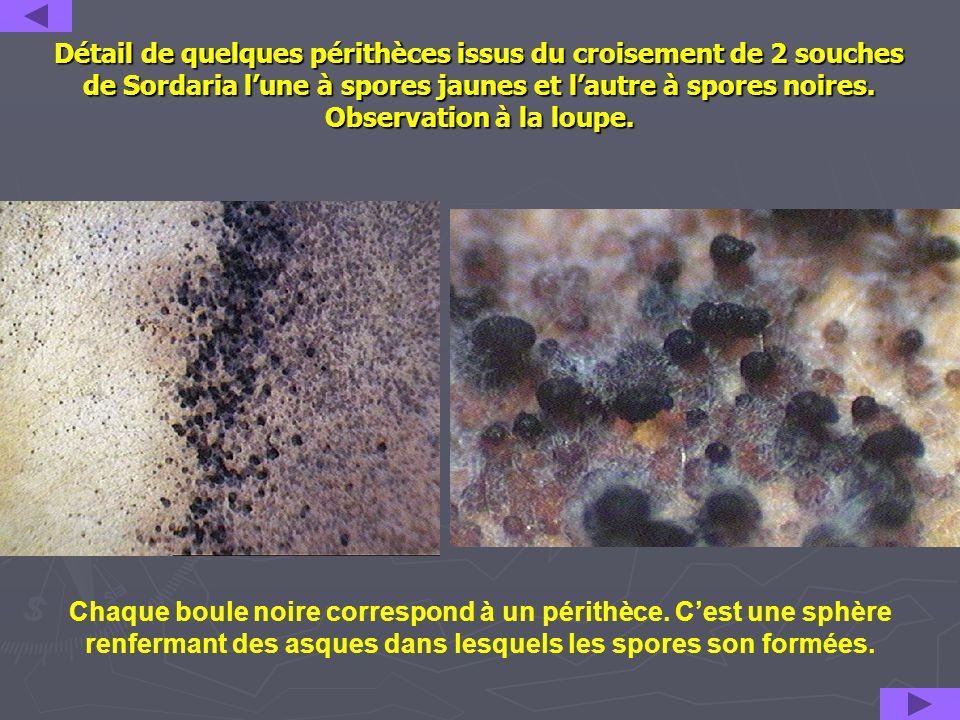 Détail de quelques périthèces issus du croisement de 2 souches de Sordaria l'une à spores jaunes et l'autre à spores noires. Observation à la loupe.