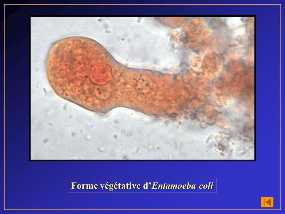 Forme végétative d'Entamoeba coli