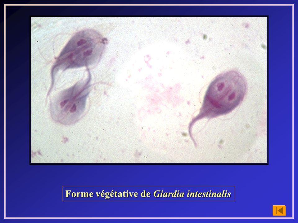 Forme végétative de Giardia intestinalis