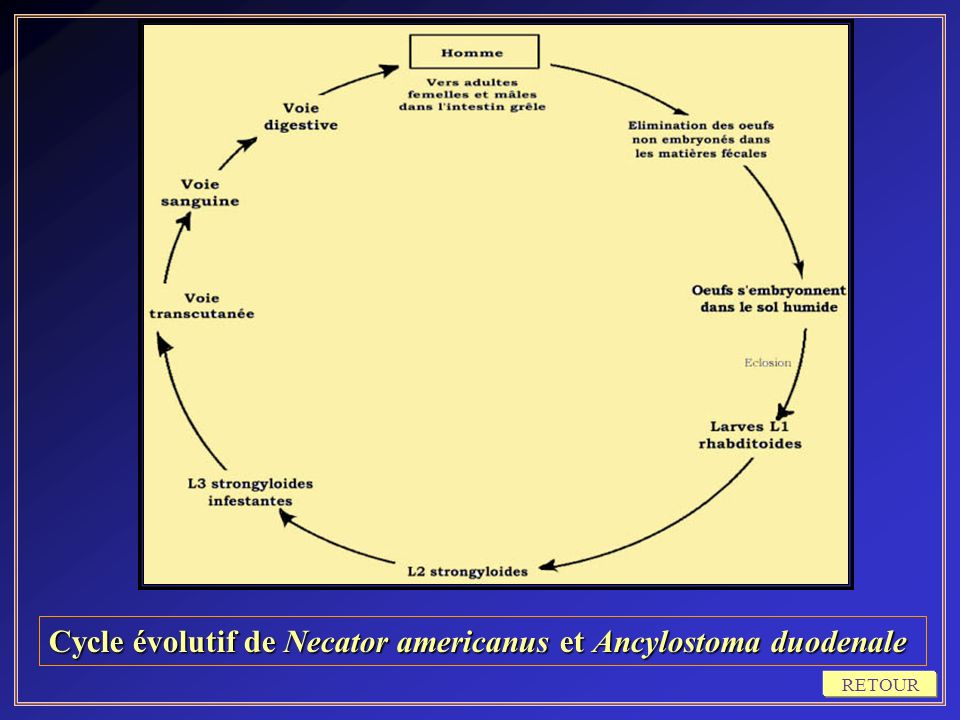 Cycle évolutif de Necator americanus et Ancylostoma duodenale