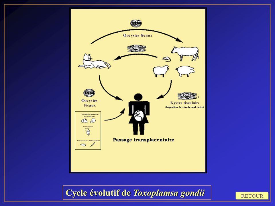 Cycle évolutif de Toxoplamsa gondii