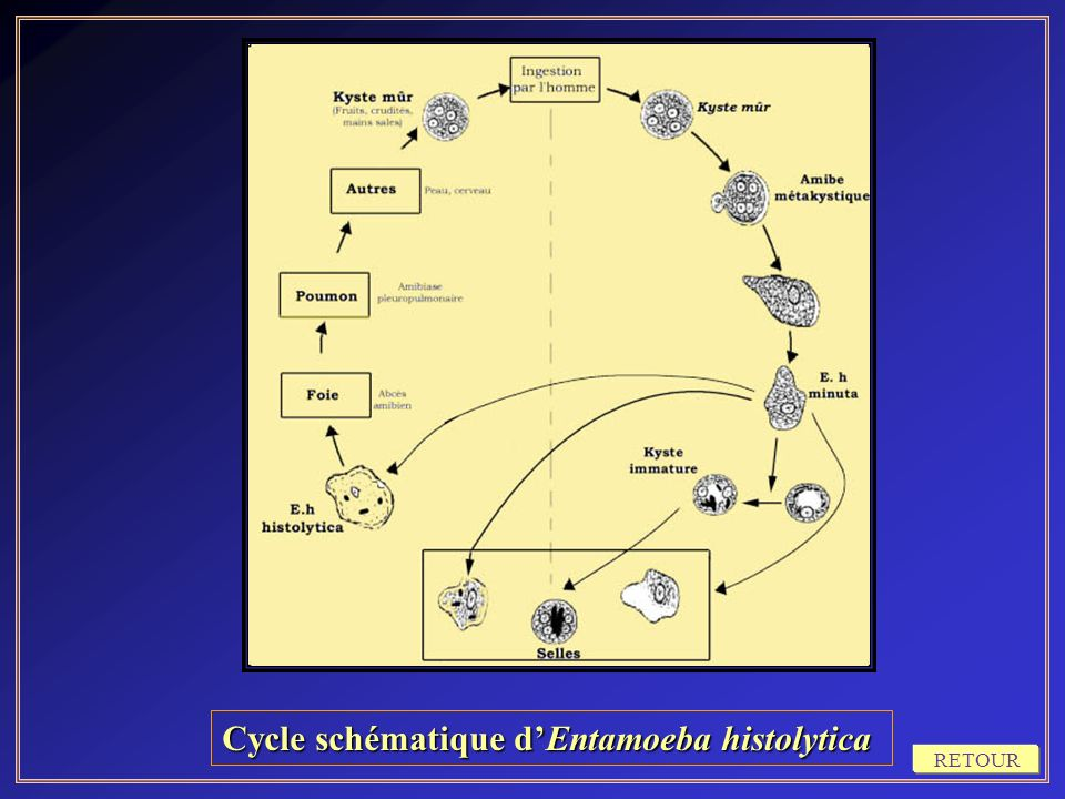 Cycle schématique d'Entamoeba histolytica