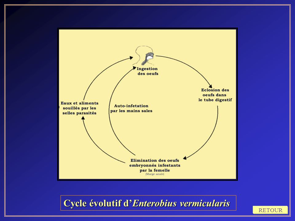 Cycle évolutif d'Enterobius vermicularis