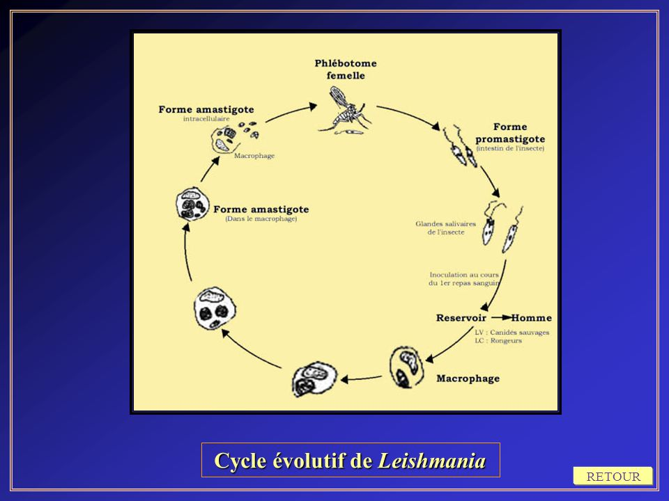 Cycle évolutif de Leishmania