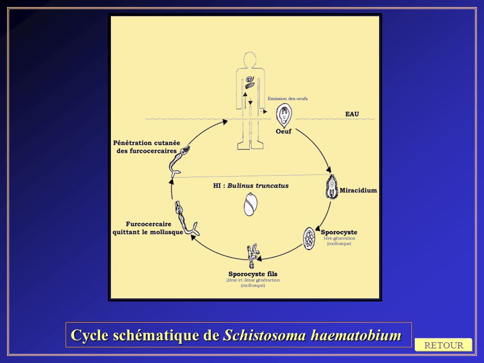 Cycle schématique de Schistosoma haematobium