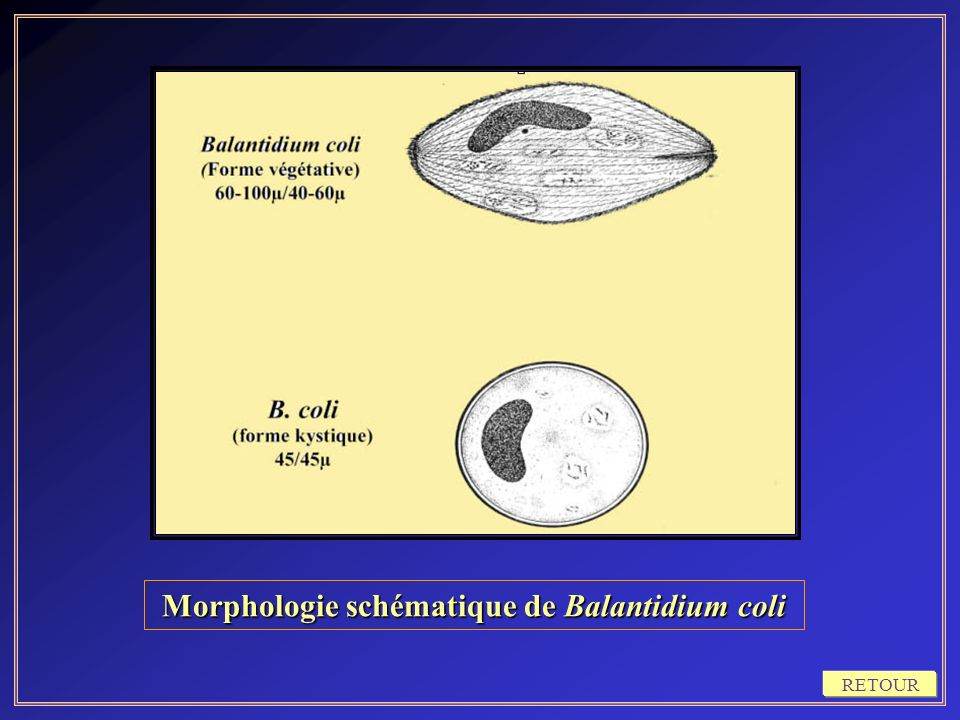 Morphologie schématique de Balantidium coli