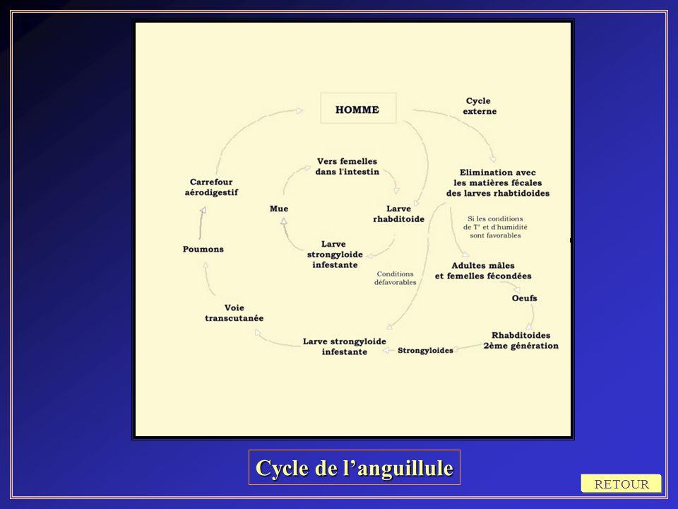 Cycle de l'anguillule RETOUR