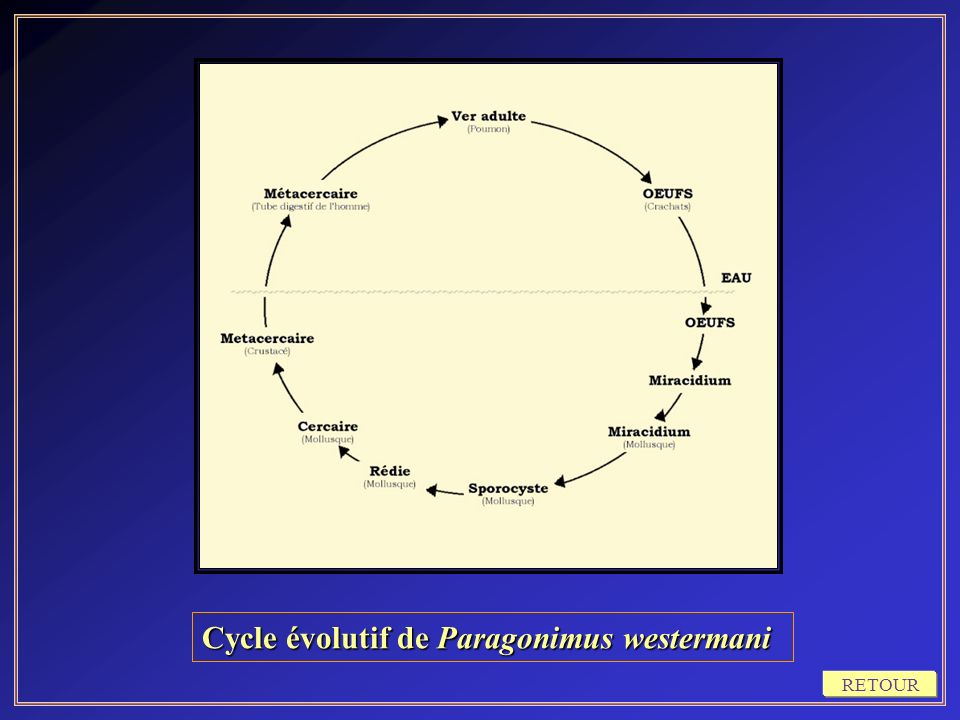 Cycle évolutif de Paragonimus westermani
