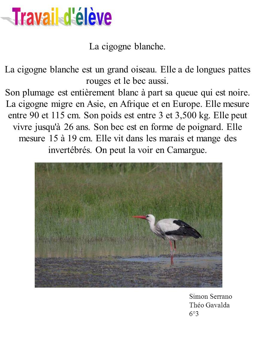 Travail d élève La cigogne blanche. La cigogne blanche est un grand oiseau. Elle a de longues pattes rouges et le bec aussi.