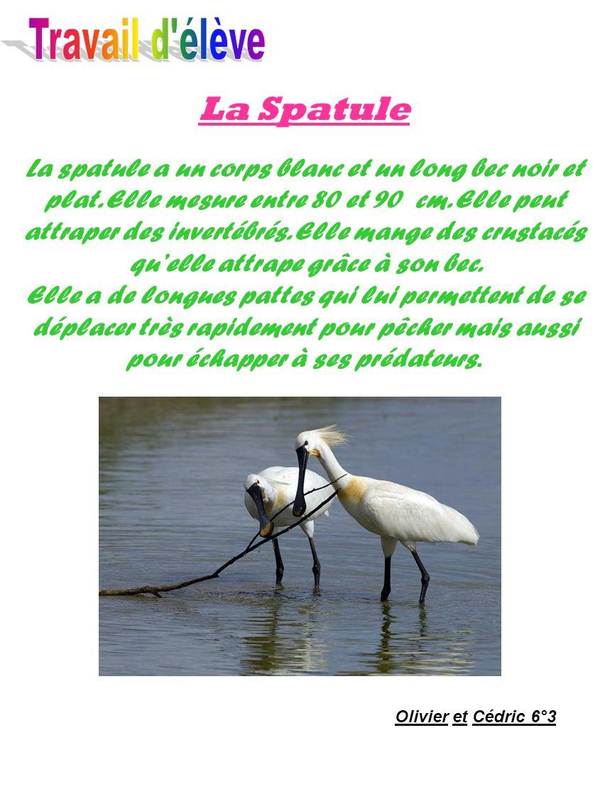 Travail d élève La Spatule.