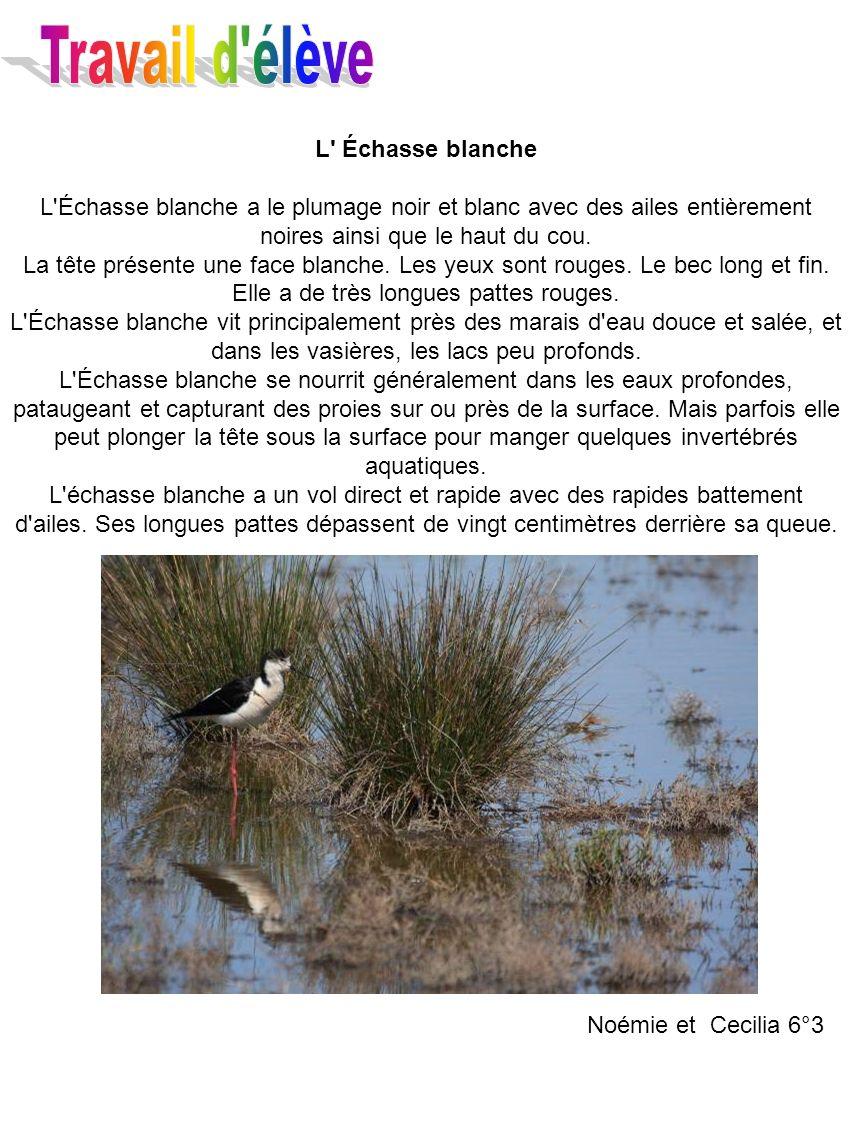 Travail d élève L Échasse blanche. L Échasse blanche a le plumage noir et blanc avec des ailes entièrement noires ainsi que le haut du cou.