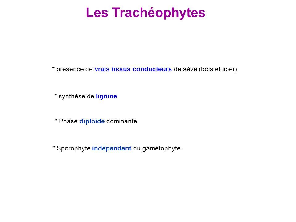 Les Trachéophytes * présence de vrais tissus conducteurs de sève (bois et liber) * synthèse de lignine.