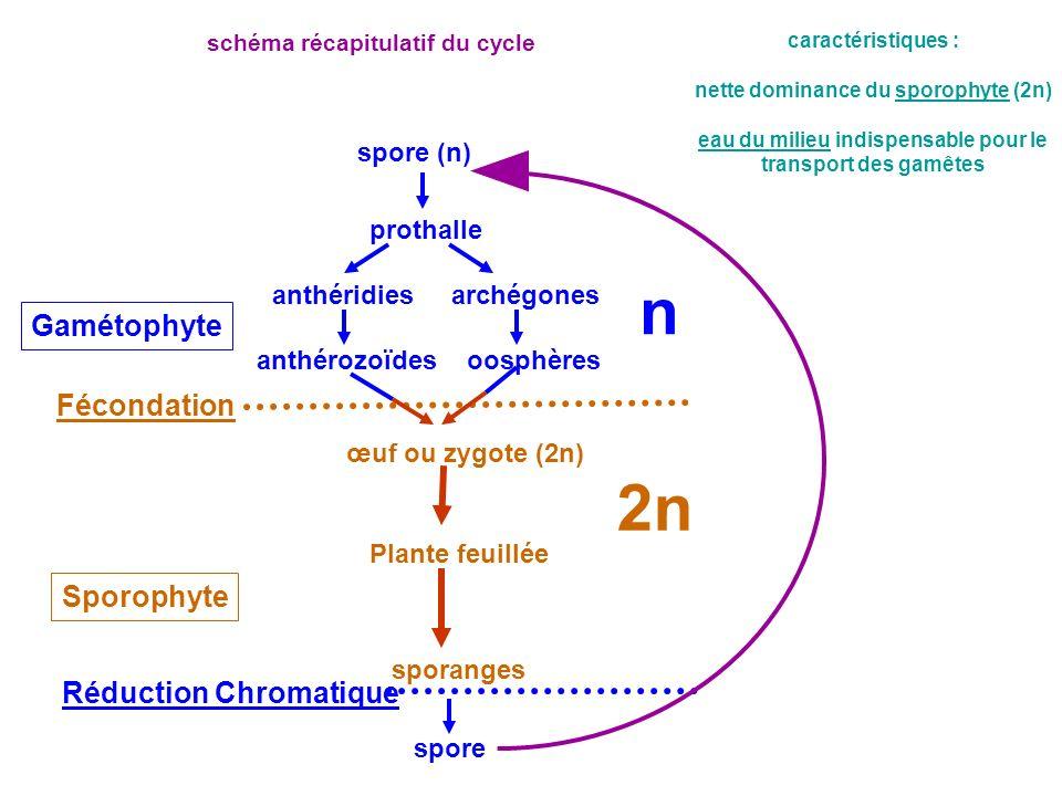 nette dominance du sporophyte (2n) eau du milieu indispensable pour le