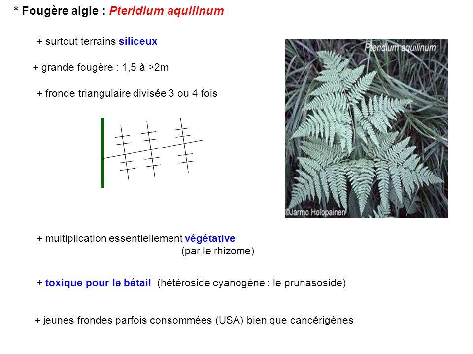* Fougère aigle : Pteridium aquilinum
