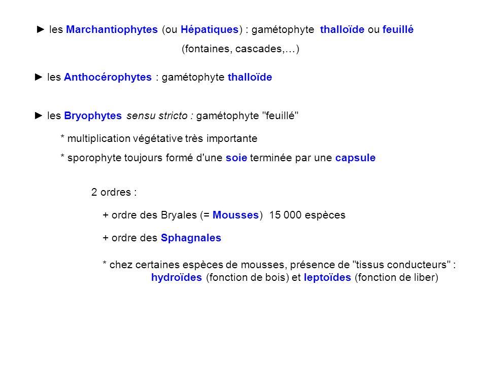 ► les Marchantiophytes (ou Hépatiques) : gamétophyte thalloïde ou feuillé