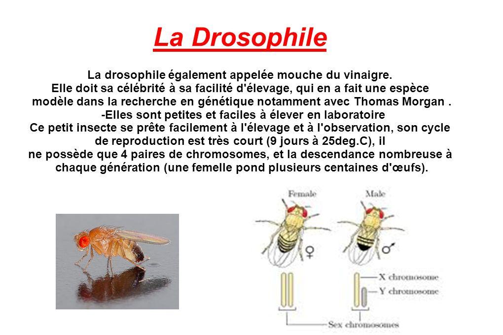 La Drosophile La drosophile également appelée mouche du vinaigre.