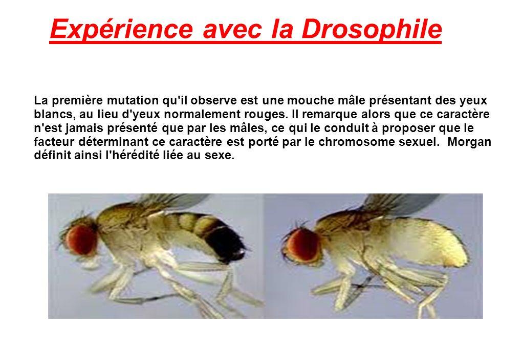 Expérience avec la Drosophile