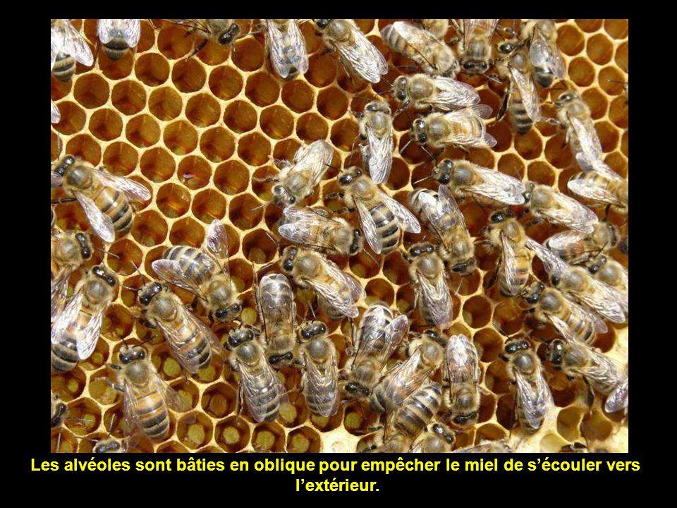 Les alvéoles sont bâties en oblique pour empêcher le miel de s'écouler vers
