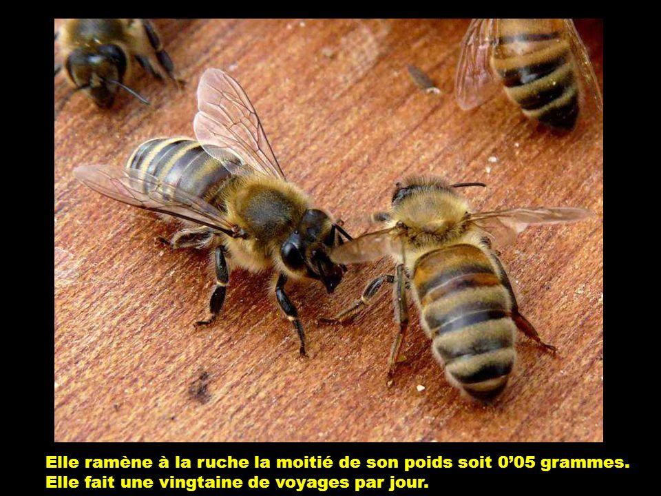 Elle ramène à la ruche la moitié de son poids soit 0'05 grammes.