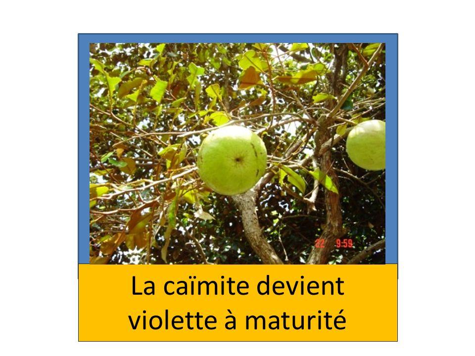 La caïmite devient violette à maturité