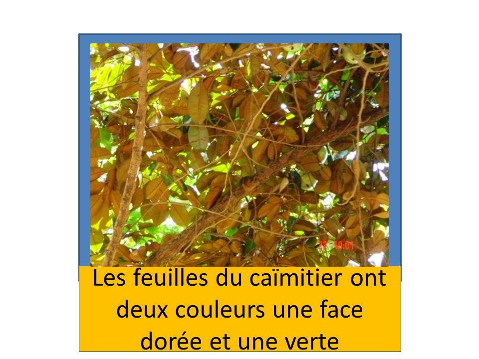 Les feuilles du caïmitier ont deux couleurs une face dorée et une verte